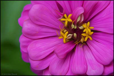 Photograph - Zinnia by Erika Fawcett