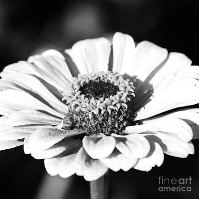 Photograph - Zinnia Flower Floral Decor Macro Sqaure Format Black And White by Shawn O'Brien