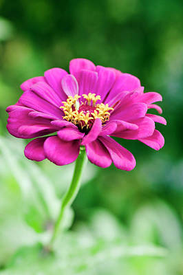 Zinnias Wall Art - Photograph - Zinnia Flower (zinnia Sp.) by Gustoimages/science Photo Library