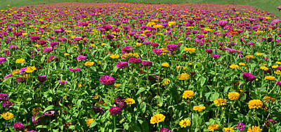 Flower Pint Photograph - Zinnia Flowers En Masse by Sandi OReilly