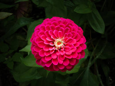 Photograph - Zinnia In Bloom by Kenneth Cole