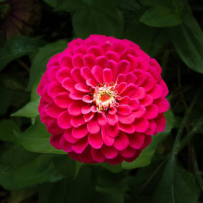 Photograph - Zinnia In Bloom Square by Kenneth Cole