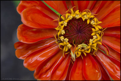 Photograph - Zinnia In The Rain by Erika Fawcett