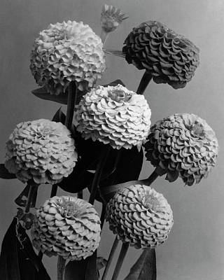 Black And White Photograph - Zinnia Lilliput Flowers by J. Horace McFarland