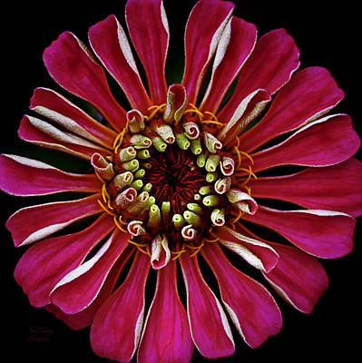 Photograph - Zinnia Macro Squared In Hot Pink by Julie Palencia