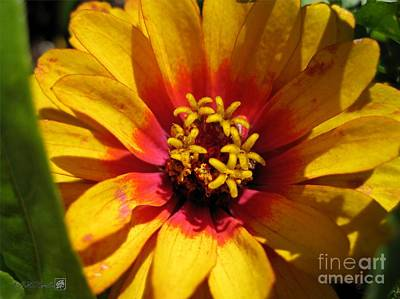 Zinnia Named Swizzle Scarlet And Yellow Art Print by J McCombie