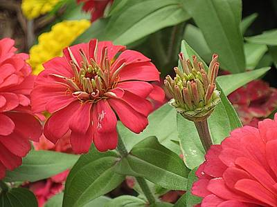 Photograph - Zinnia-our Turn-4 by Doug Morgan