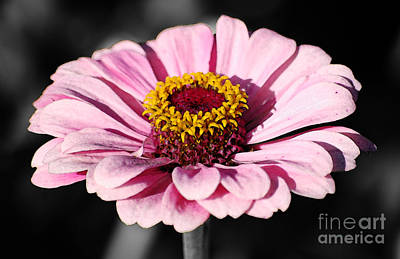 Digital Art - Zinnia Pink Flower Floral Decor Macro Fresco Color Splash Black And White Digital Art by Shawn O'Brien