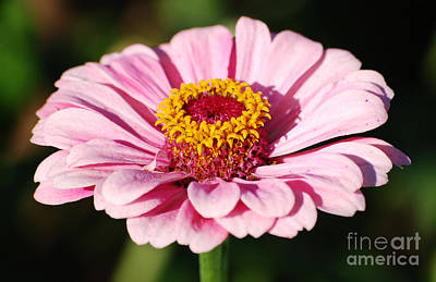 Photograph - Zinnia Pink Flower Floral Decor Macro by Shawn O'Brien