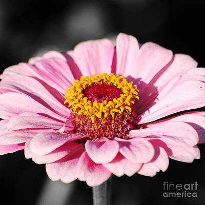Digital Art - Zinnia Pink Flower Floral Decor Macro Sqaure Format Color Splash Black And White Digital Art by Shawn O'Brien
