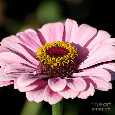 Digital Art - Zinnia Pink Flower Floral Decor Macro Sqaure Format Fresco Digital Art by Shawn O'Brien