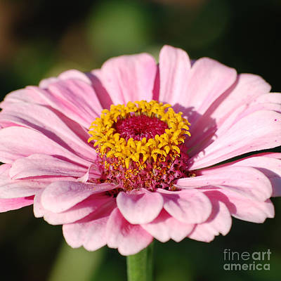 Photograph - Zinnia Pink Flower Floral Decor Macro Sqaure Format by Shawn O'Brien