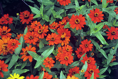 Zinnias Wall Art - Photograph - Zinnia 'profusion Fire' by Mrs W D Monks/science Photo Library