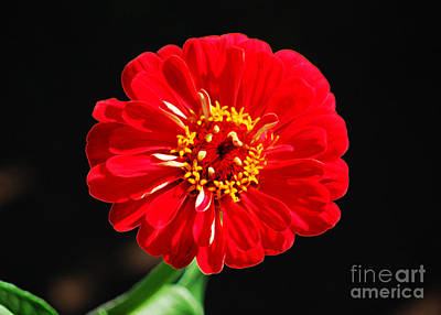 Digital Art - Zinnia Red Flower Floral Decor Macro Accented Edges Digital Art by Shawn O'Brien