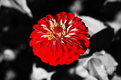 Photograph - Zinnia Red Flower Floral Decor Macro Closeup Color Splash Black And White Digital Art by Shawn O'Brien
