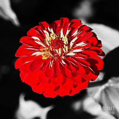 Photograph - Zinnia Red Flower Floral Decor Macro Closeup Square Format Color Splash Digital Art by Shawn O'Brien