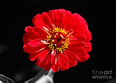Photograph - Zinnia Red Flower Floral Decor Macro Color Splash Black And White Digital Art by Shawn O'Brien