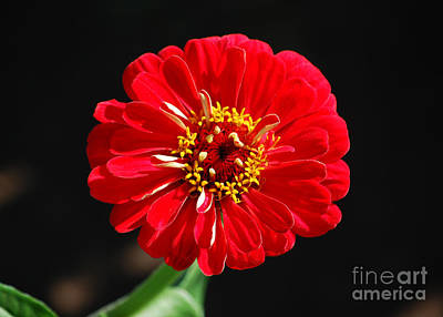 Photograph - Zinnia Red Flower Floral Decor Macro by Shawn O'Brien