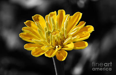 Photograph - Zinnia Yellow Flower Floral Decor Macro Color Splash Black And White Digital Art by Shawn O'Brien