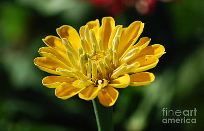 Photograph - Zinnia Yellow Flower Floral Decor Macro by Shawn O'Brien