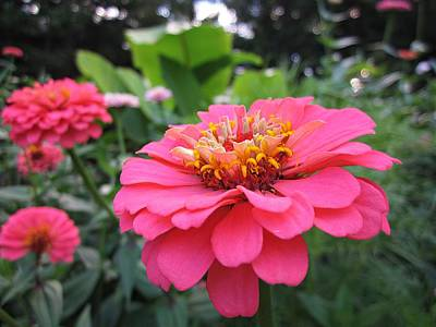 Photograph - Zinnias by MTBobbins Photography