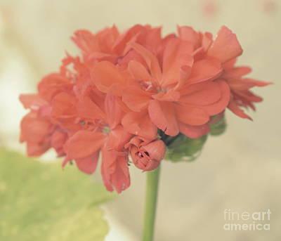 Photograph - Zonal Pelargonium by Ioanna Papanikolaou