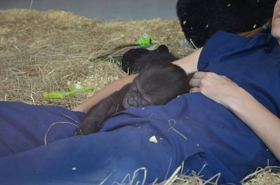 Photograph - Zootography Of Kigali The Western Lowland Gorilla At One Month Old by Jeff at JSJ Photography