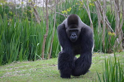 Zootography Of Male Silverback Western Lowland Gorilla On The Prowl Art Print by Jeff at JSJ Photography