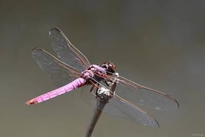Photograph - Zootography2 Pink Dragonfly by Jeff at JSJ Photography
