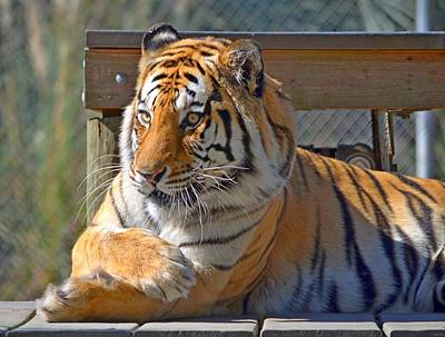 Photograph - Zootography3 Tiger Chillaxin by Jeff at JSJ Photography