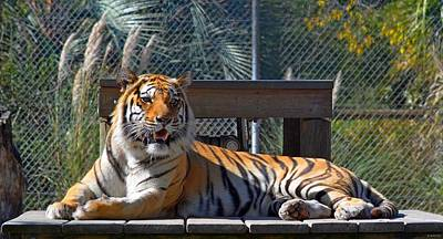 Zootography3 Tiger In The Sun Print by Jeff at JSJ Photography