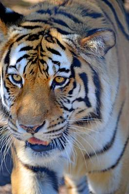 Zootography3 Tiger Prowl Close-up Print by Jeff at JSJ Photography