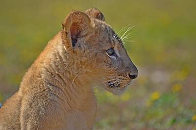 Photograph - Zootography3 Zion The Lion Cub Guard Duty by Jeff at JSJ Photography
