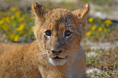 Photograph - Zootography3 Zion The Lion Cub by Jeff at JSJ Photography