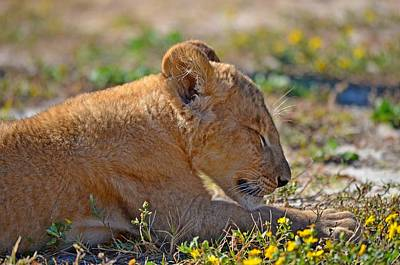 Photograph - Zootography3 Zion The Lion Cub Napping by Jeff at JSJ Photography