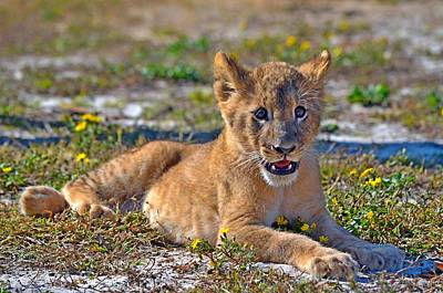 Photograph - Zootography3 Zion The Lion Cub Posing by Jeff at JSJ Photography