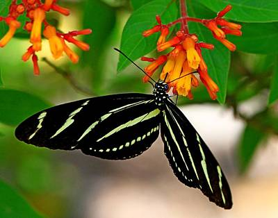 Photograph - Zrbra Longwing by Ira Runyan