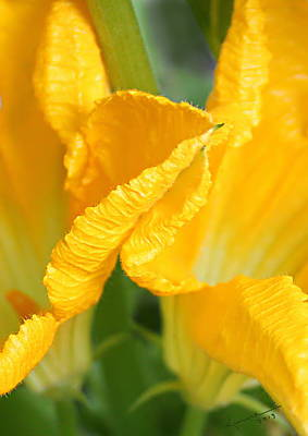 Photograph - Zucchini Flowers In May by Kume Bryant
