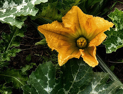 Photograph - Zucchinni Blossom by Gary Neiss