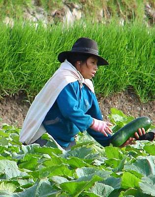 Photograph - Zucchinni Harvest by Lew Davis