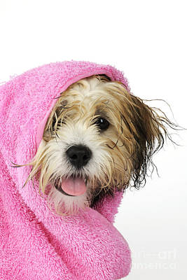 Towels Drying Photograph - Zuchon Teddy Bear Dog, Wet In Pink Towel by John Daniels