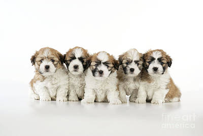 Photograph - Zuchon Teddy Bear Puppy Dogs by John Daniels