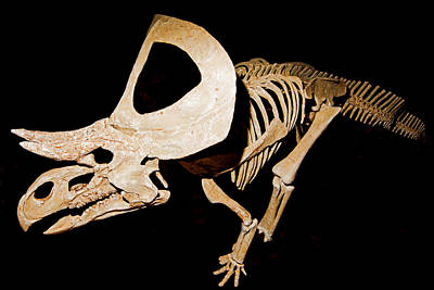 Photograph - Zuniceratops Christopheri, Fossil by Millard H. Sharp