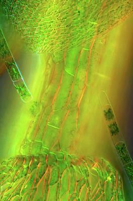 Alga Photograph - Zygnema Algae On Sphagnum Moss by Marek Mis