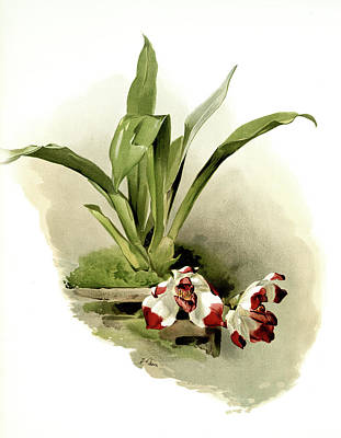 Botanica Drawing - Zygopetalum Klabochorum, Sander, F. Frederick 1847-1920 by Artokoloro