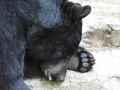 Photograph - Zzz...a Black Bear At Kaunas Zoo. Lithuania. by Ausra Huntington nee Paulauskaite