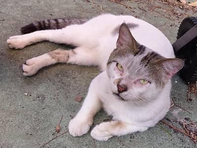 Mr. Gentle - Street Cat Print by Trudy Brodkin Storace