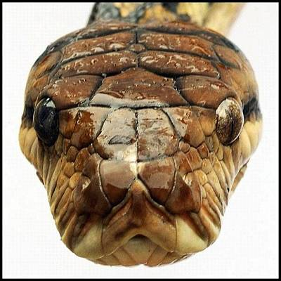 Reptiles Wall Art - Photograph -  ... This Is The Python That Tried To by Brian Cassey