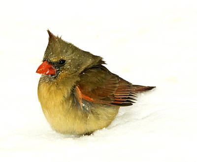 Photograph -  Baby Cardinal In Snow by Trudy Wilkerson
