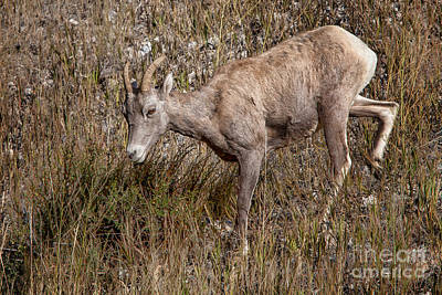 Photograph -  Bighorn Ewe by Ronald Lutz